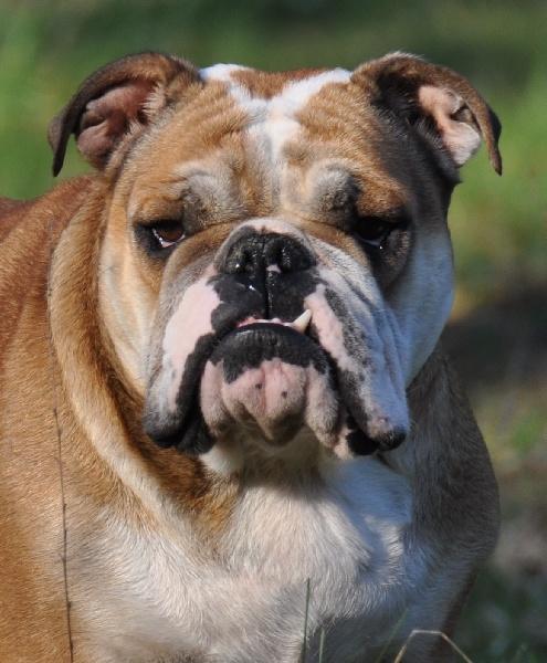 Les Bulldog Anglais de l'affixe des coleres de Zeus