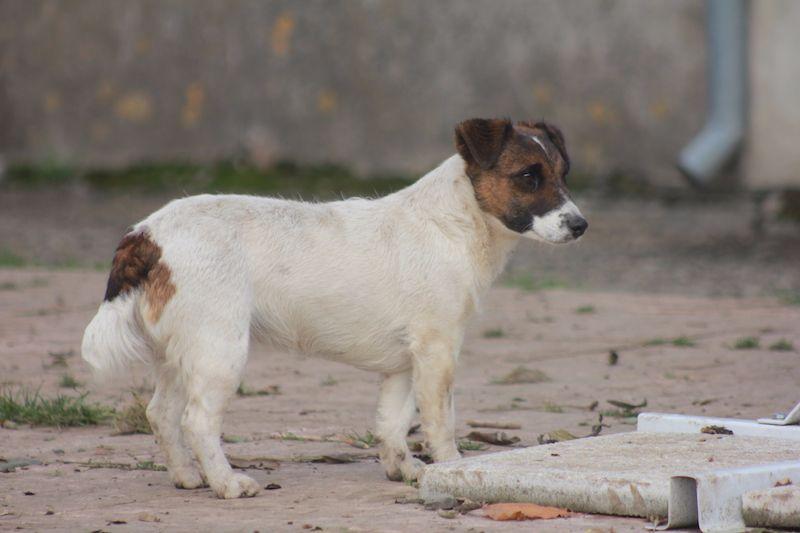 Les Jack Russell Terrier de l'affixe Du val de peyras