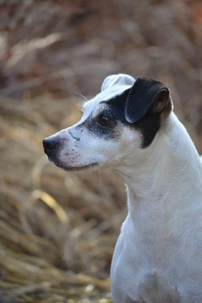Les Jack Russell Terrier de l'affixe De l'Univers d'Evine