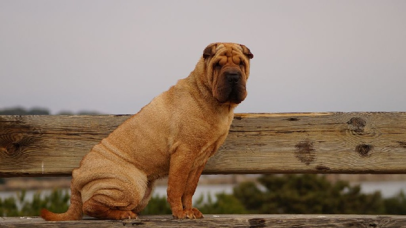 Shar Pei - I'll stand by you des Legendes Indiennes
