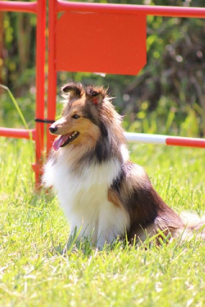 Les Shetland Sheepdog de l'affixe Infinity Black Out