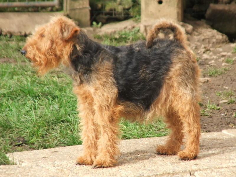 Les Welsh Terrier de l'affixe du Dollerbaechlein