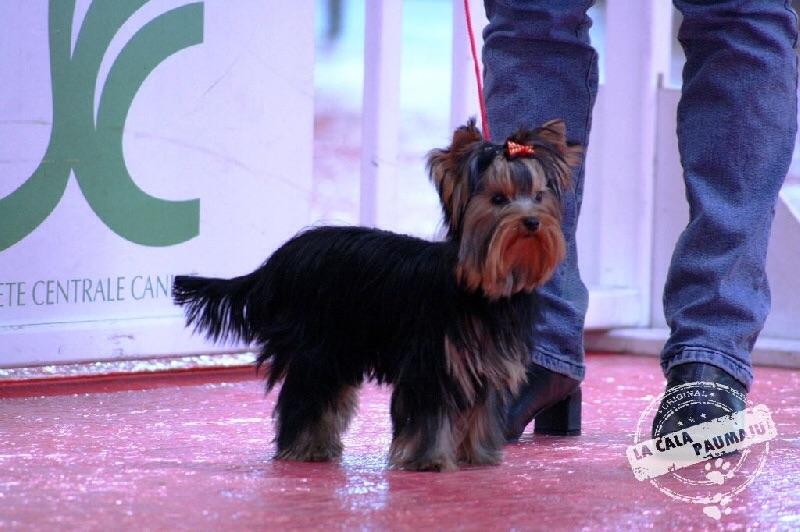 Yorkshire Terrier - I'too aven de la Calà Paumaju