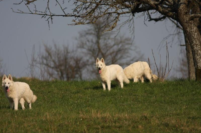 Les Berger Blanc Suisse de l'affixe Des Plaines de l'Est