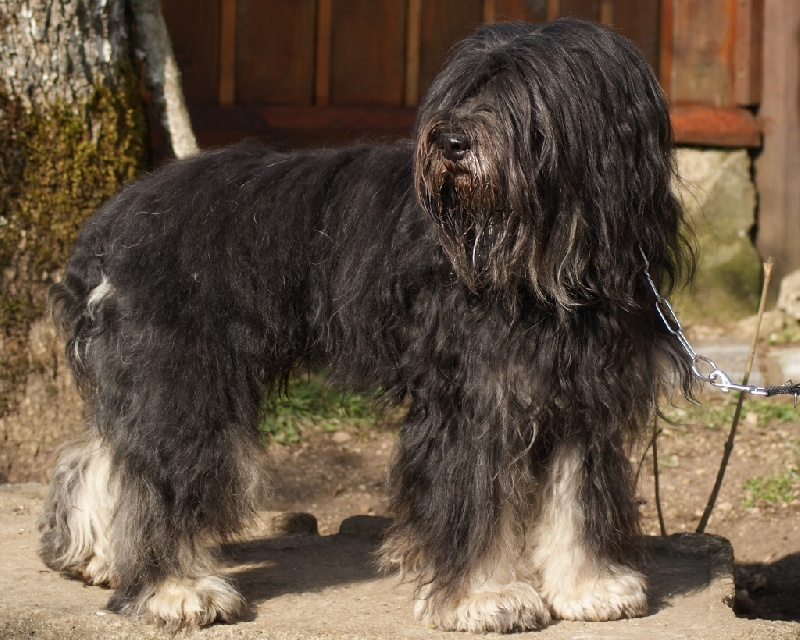 Chiot - Elevage de Norimatys - eleveur de chiens Berger