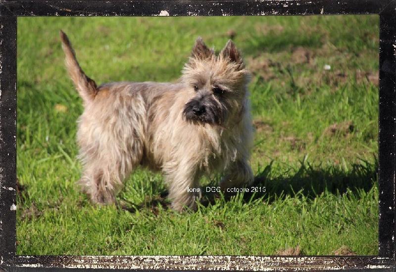 Les Cairn Terrier de l'affixe Des guerriers chippewas