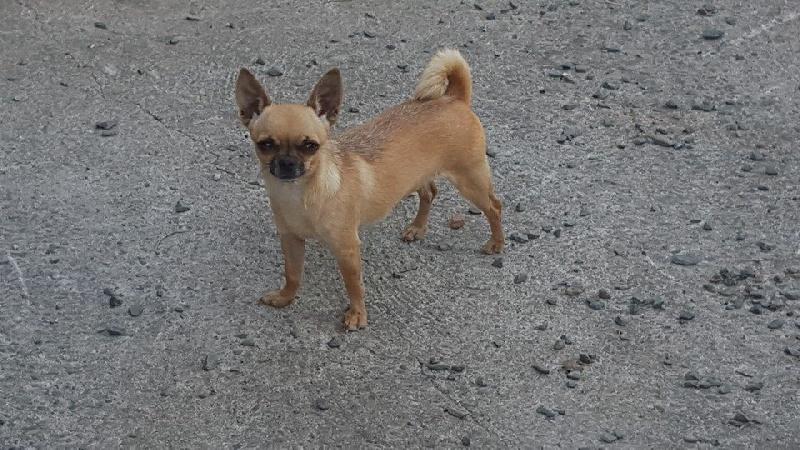 Les Chihuahua de l'affixe Du sikkim tchoo