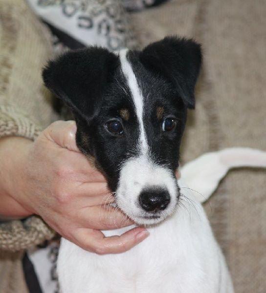 Le Standard de la race Fox Terrier Poil lisse sur Atara.com