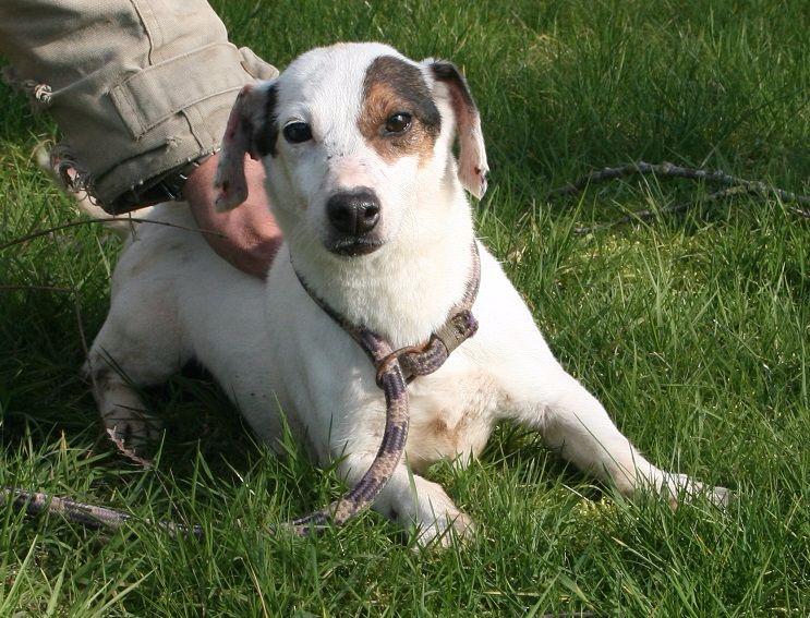 Les Jack Russell Terrier de l'affixe Des marais de courmont