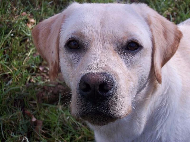 Les Labrador Retriever de l'affixe Du Domaine Des Embruns Sales