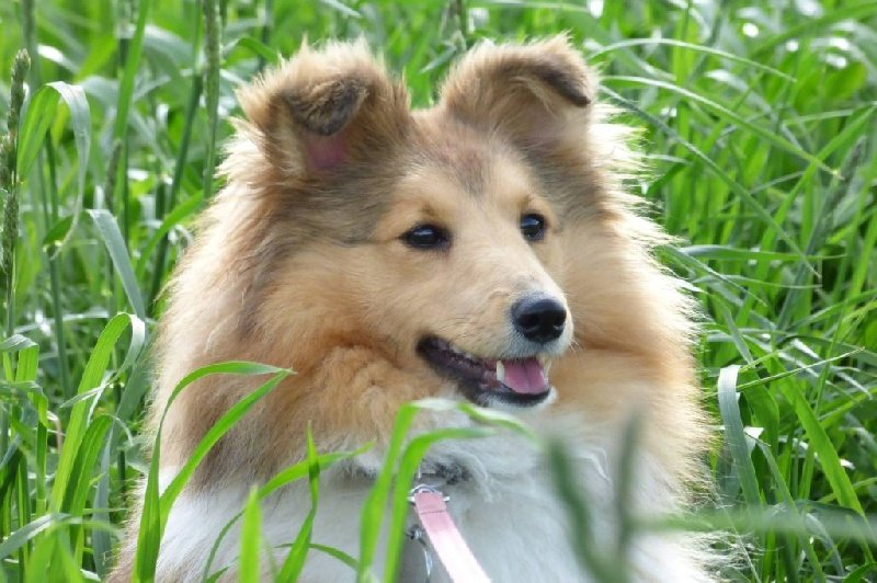 Shetland Sheepdog - Jaya'lynn du village de Trelan