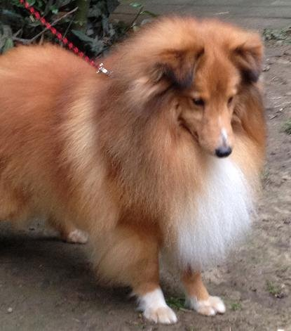 Shetland Sheepdog - si-said Zacharovannyi prince leon