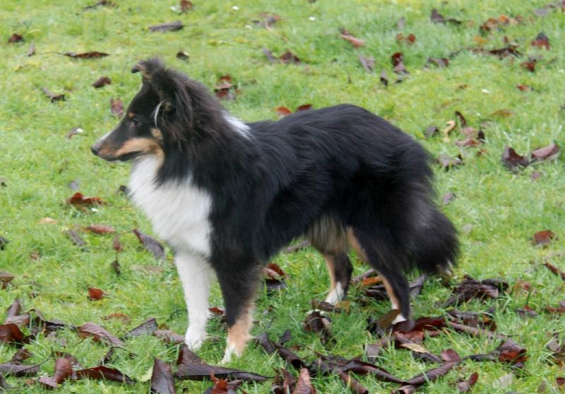 Les Shetland Sheepdog de l'affixe Des Seigneurs d'Etretat