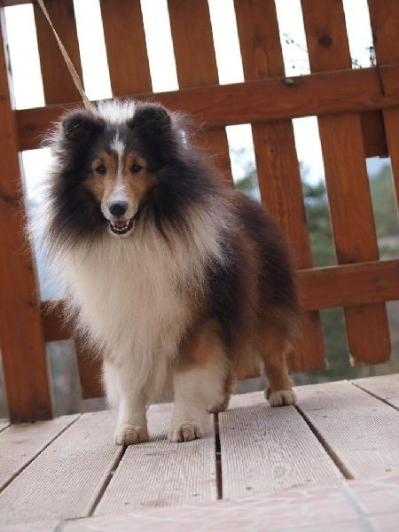 Les Shetland Sheepdog de l'affixe des Jardins de Becky