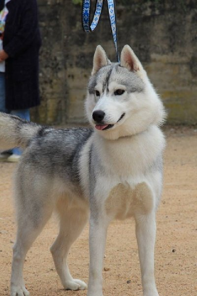 Siberian Husky - Just perfect dit snow Of cold winter nights
