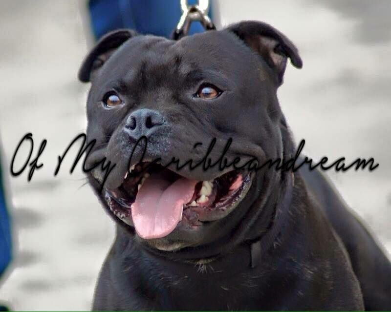 Staffordshire Bull Terrier - Red charming's Fantome