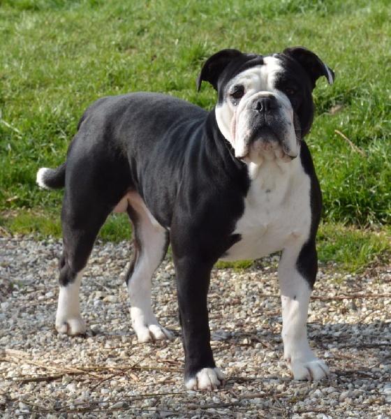 Les Bulldog continental de l'affixe De la queue du grill