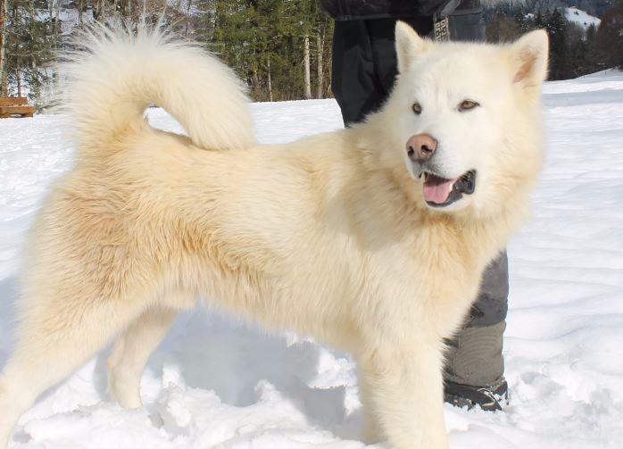 Beliebt Chien - Elevage A Ton étoile - eleveur de chiens Alaskan Malamute QP99