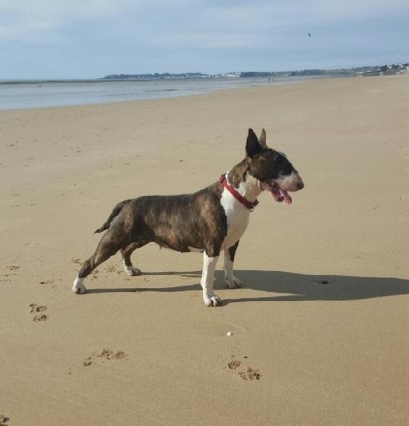 Les Bull Terrier de l'affixe Les sens Daika