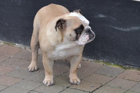 Les Bulldog Anglais de l'affixe domaine du hameau du fayel