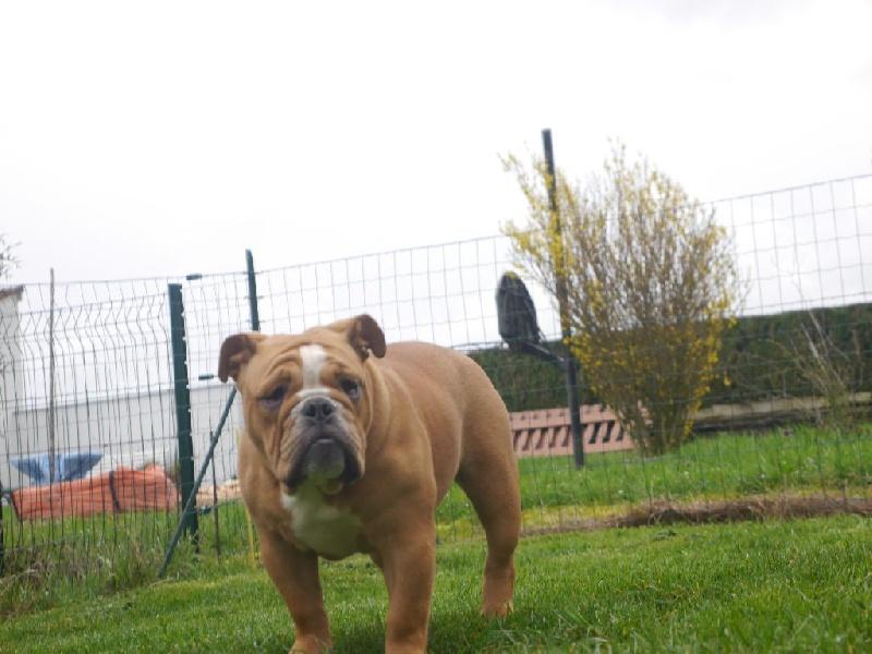 Majesty Bull Lovely girl