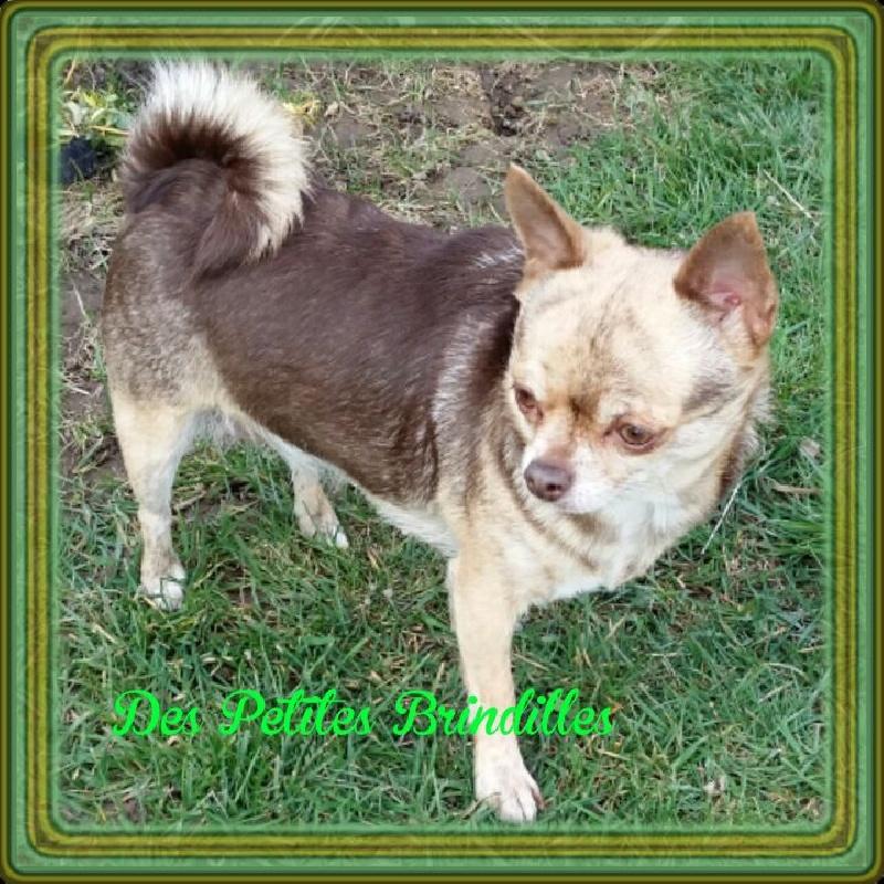 Les Chihuahua de l'affixe Des Petites Brindilles