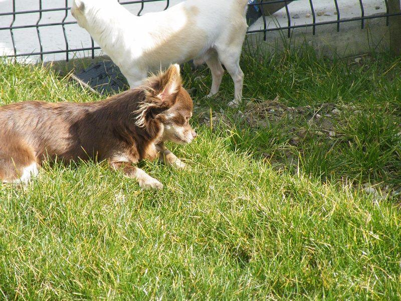 Les Chihuahua de l'affixe Du Hameau De Selcra