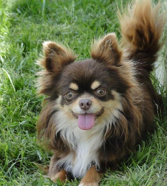 Chihuahua - Halghero du royaume des petits Anges