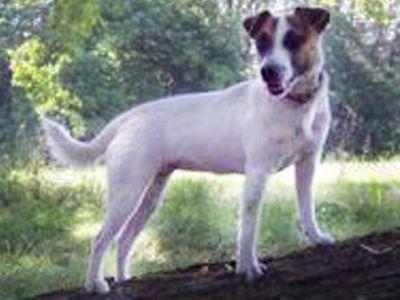Le Standard de la race Jack Russell Terrier sur Atara.com