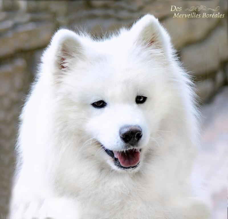 Siberian Husky - Naked Girls
