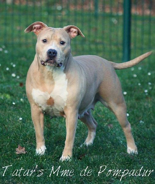 Les American Staffordshire Terrier de l'affixe Legion of JSM