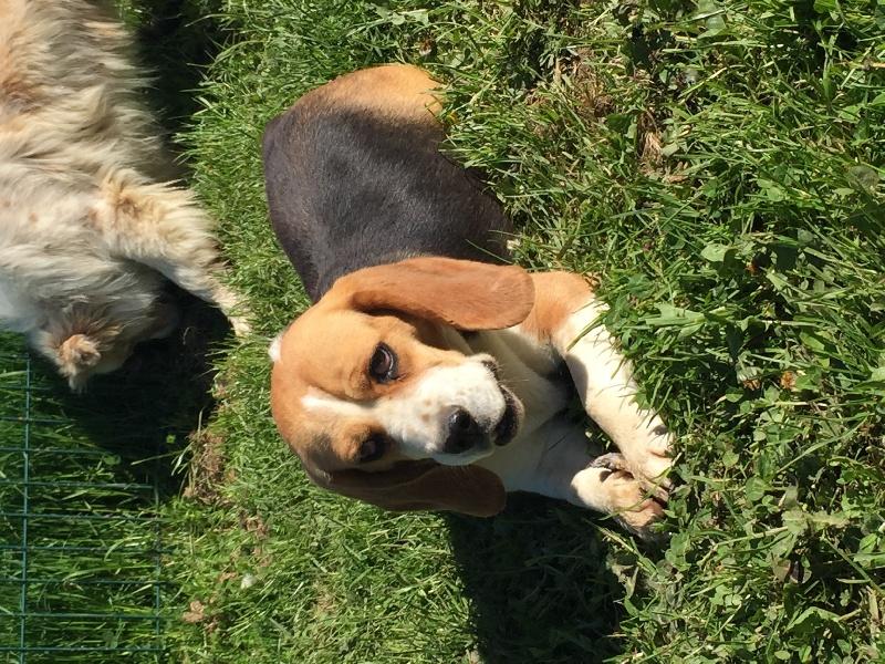 Les Beagle de l'affixe Des Collines Du Lac De Paladru