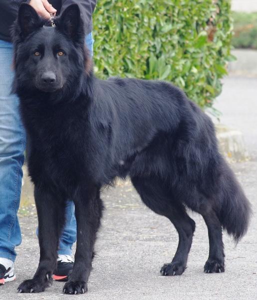 Souvent Jalco de la légende du loup noir chien de race toutes races en  XN88