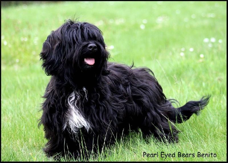 Bichon Havanais - pearl eyed bears Benito