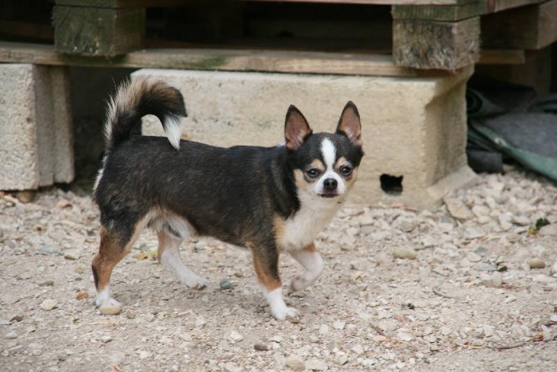 Les Chihuahua de l'affixe de l'Orée des charmois