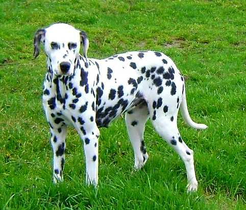 Les Dalmatien de l'affixe De La Petite Vallee Des Chiens