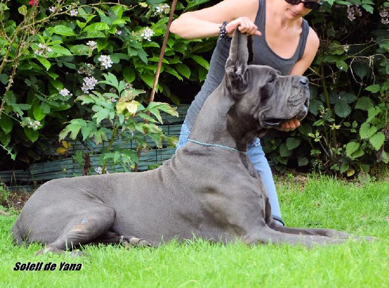 Les Dogue allemand de l'affixe Au soleil de yana