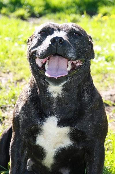 Les Staffordshire Bull Terrier de l'affixe des Chasseurs D'Ombre