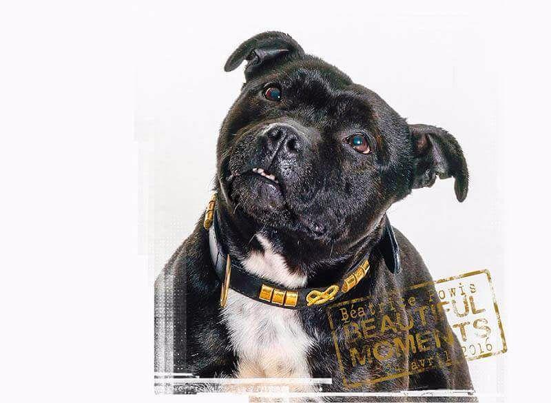 Les Staffordshire Bull Terrier de l'affixe Fanatic staff