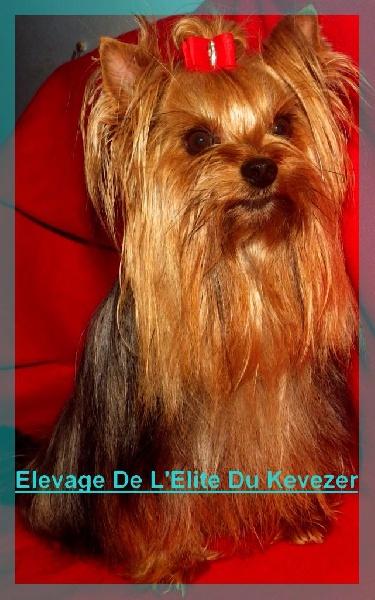 Les Yorkshire Terrier de l'affixe De L'Elite Du Kevezer
