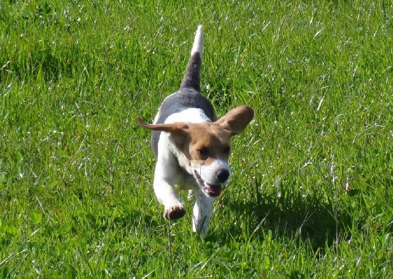 Les Beagle de l'affixe De Goute Agude