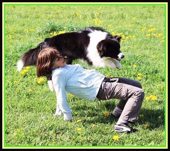 Les Border Collie de l'affixe du Paradis des P'tits Cracks