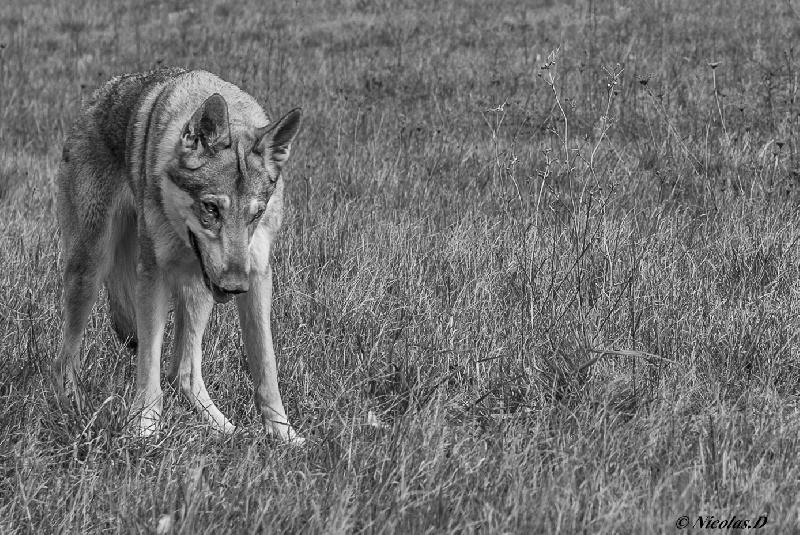 Les Chien-loup tchecoslovaque de l'affixe Des Loups D'Amarok