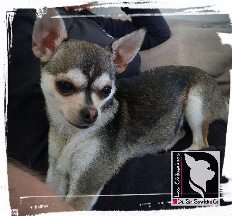 Les Chihuahua de l'affixe de Sir Scratch and Co