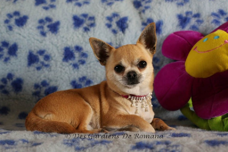 Les Chihuahua de l'affixe des gardiens de Romana