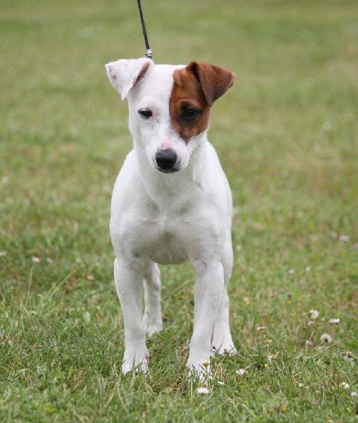 Les Jack Russell Terrier de l'affixe du mas d'aigret