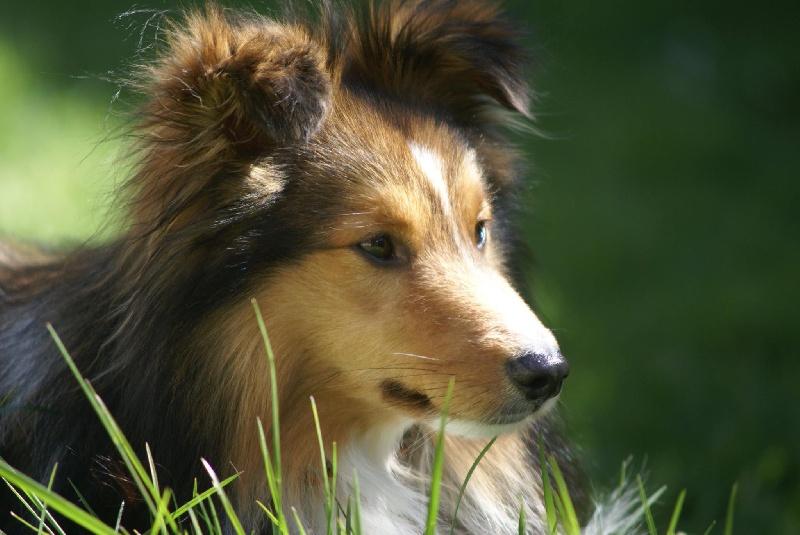 Shetland Sheepdog - Jin-set blond De chiroulet