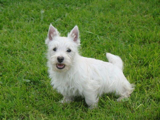 Les West Highland White Terrier de l'affixe du Moulin de la Terrasse