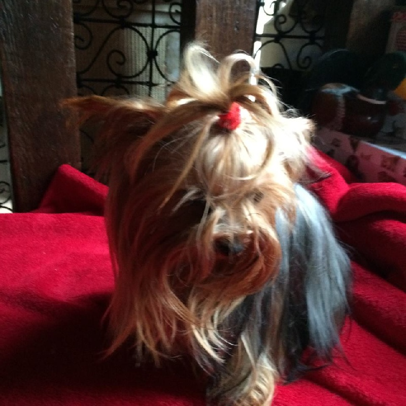 Yorkshire Terrier - Intense-reverie du Puy Doré