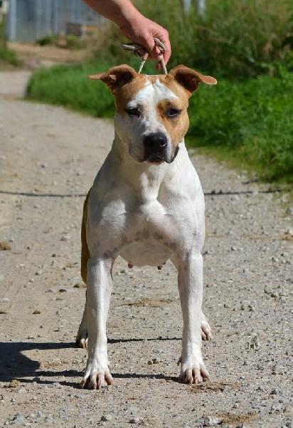 Les American Staffordshire Terrier de l'affixe Dreams Maker's